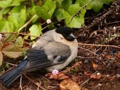 Azores Bullfinch (Pyrrhula murina)