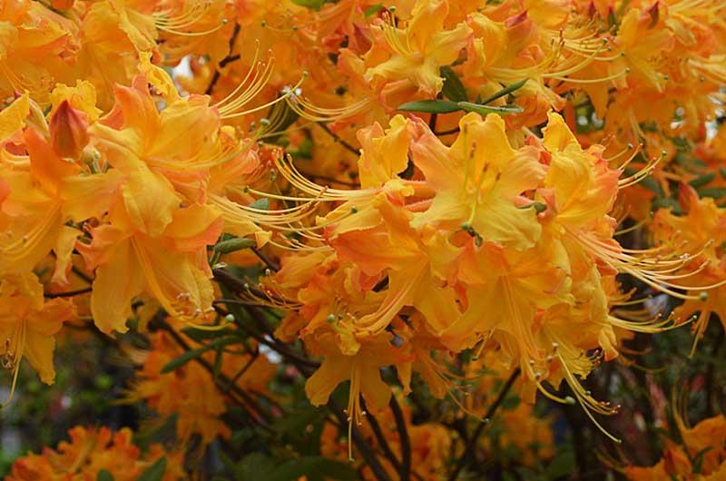 florida azalea rhododendron austrinum live azores. Black Bedroom Furniture Sets. Home Design Ideas