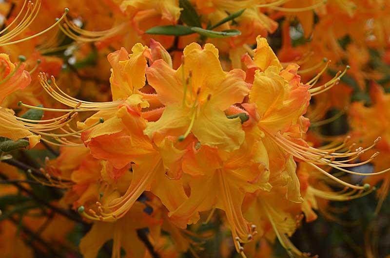 Florida Azalea - Rhododendron austrinum
