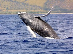 Humpback Whale - Whale watching Azores