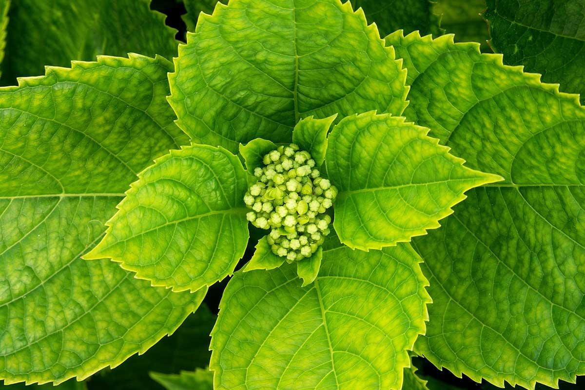 Hydrangea macrophylla Azores