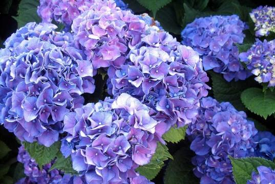 Lush Blue Hydrangeas