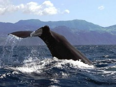 sperm whale tail azores