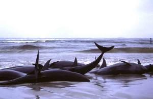Do whales attempt suicide?