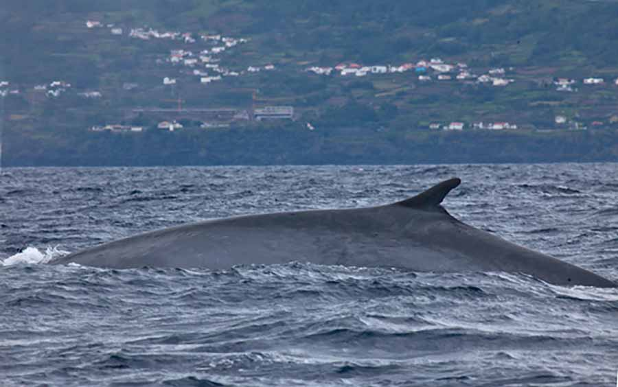 this is a yet unnamed fin-blue hybrid whale
